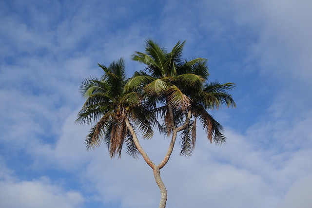 09262014 3 Headed Coconut Tree (6)