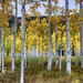 Colorado Aspens in Fall by JusDaFax
