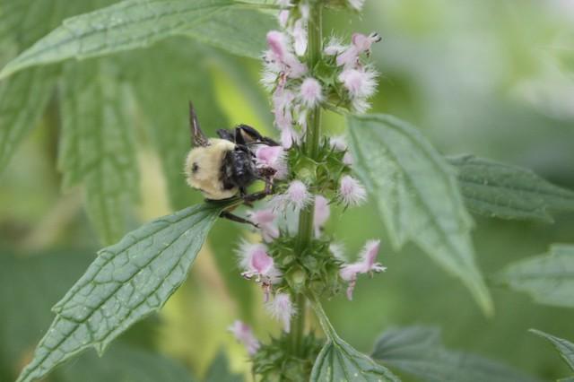 bumblebee pollinating motherwort