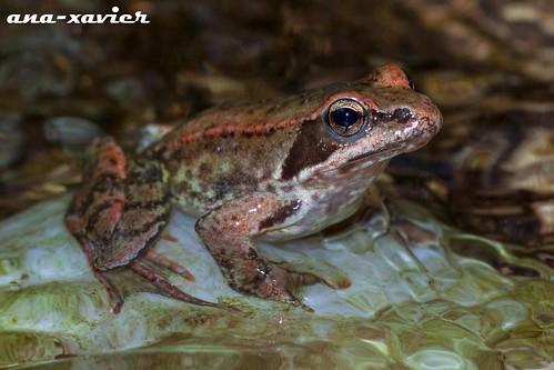 Rã-ibérica, Iberian Frog (Rana iberica) - em Liberdade [in Wild]