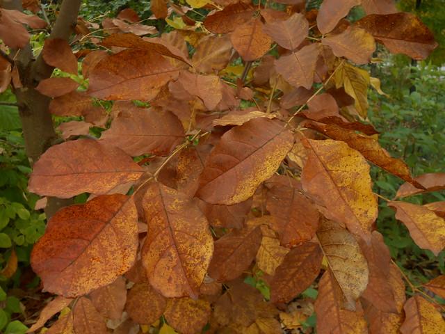 Fraxinus rhyncophylla var. densata 4.10.2014 Helsinki Meilahti