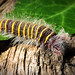 Hairy caterpillar by spg1105