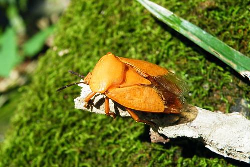 荔枝椿象成蟲在戶外相當常見。值得注意的是,荔枝椿象的臭腺發達,分泌液易引起皮膚過敏,應避免與之接觸。(圖片攝影:李鍾旻)