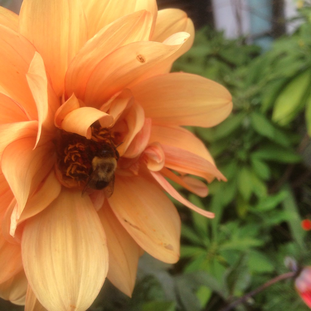 a sleepy bee at Chanticleer Garden