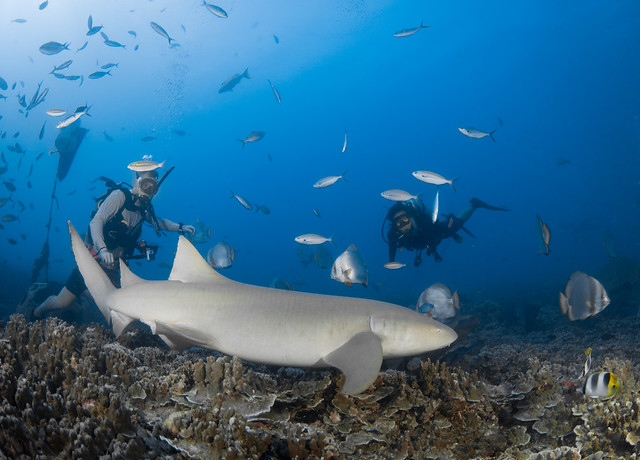 Nurse Shark at Gab Gab 2