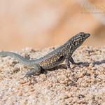 Western Side-Blotched Lizard ♂