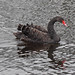 Small photo of Black Swan