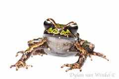 Leiopelma archeyi (Archey's frog)