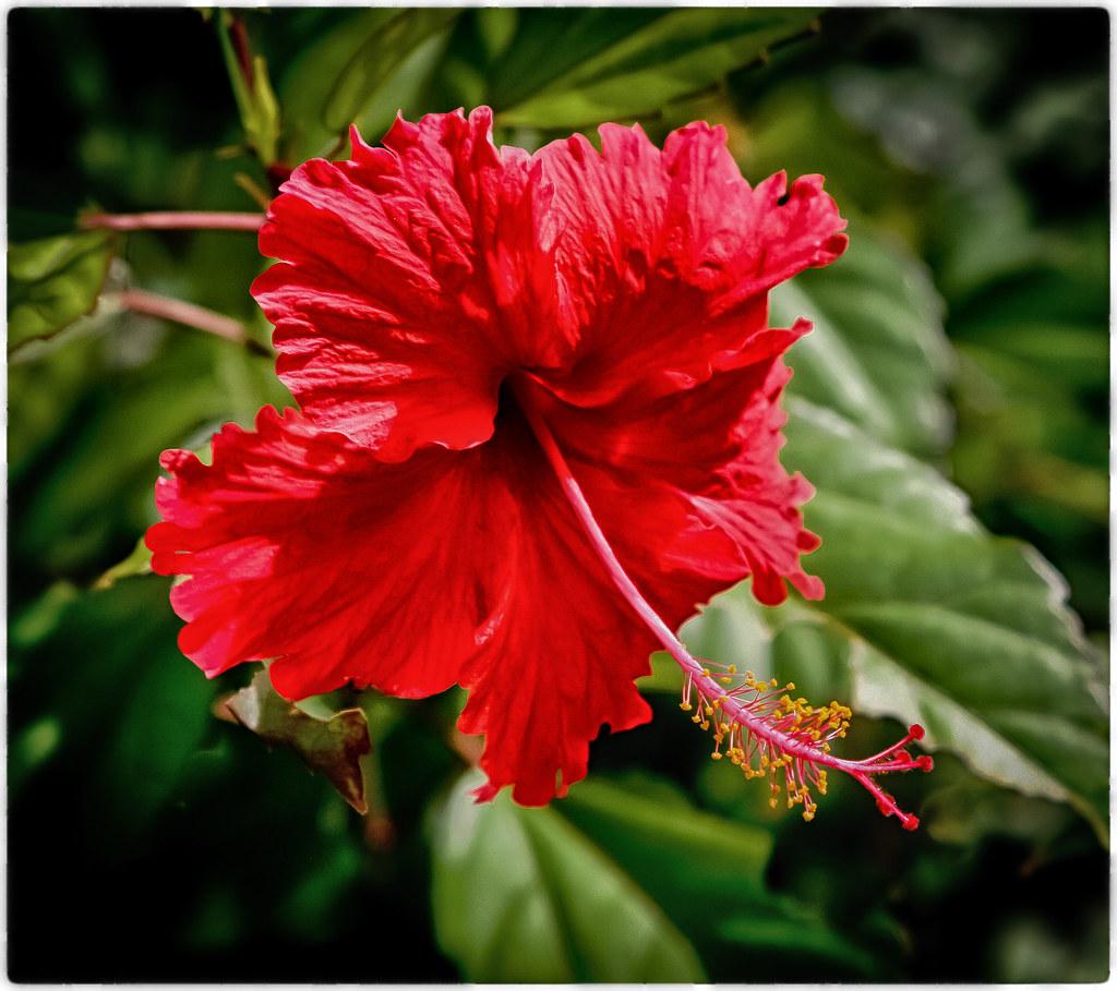Hibiscus San Juan Puerto Rico Mi Galeria En Bn Wwwflick Flickr