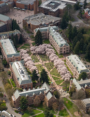 University of Washington, The Quad and Cherry Blossoms (1)