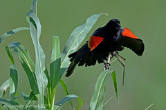 RED-WINGED BLACKBIRD 16
