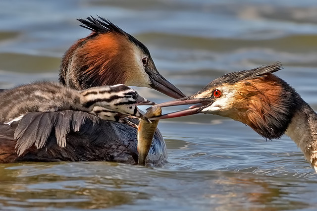 Great Crested Grebe (Podiceps cristatus) feeding young