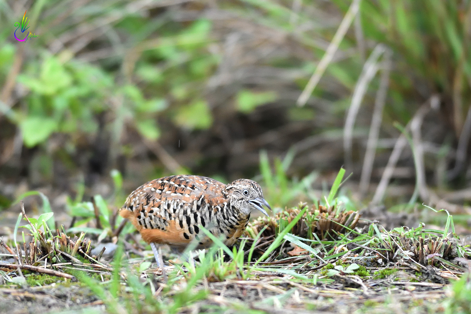 Barred_Buttonquail_1809