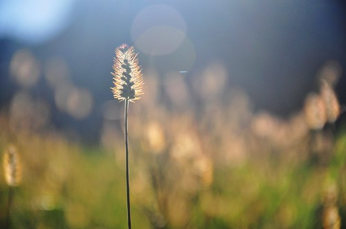autumn light sun sunlight nature grass sunshine golden stem glow bokeh seed sparkle explore seedhead flare aglow 281 sep252014
