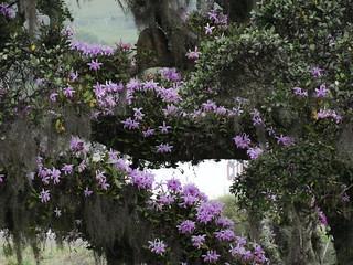 Cattleya intermedia - ficus tree.
