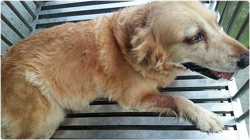 「助認養」桃園從南寮收容所救出黃金獵犬瑪西小姐~需要醫療資源助認養可抵稅~謝謝您!20140930