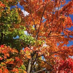 All the color! #changingseasons #loveva #fall #autumn #fallinVA #virginia #love #september #beautiful #nature #trees #lookup #harrisonburg