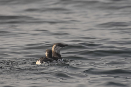 <p><i>Uria aalge</i>, Alcidae<br /> Pelagic Zone, off Tofino, British Columbia, Canada<br /> Nikon D5100, 70-300 mm f/4.5-5.6<br /> September 20, 2014</p>