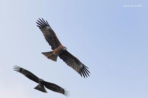 盤旋而下,無可抵擋。兒歌中老鷹抓小雞的老鷹,就是指黑鳶。圖片來源:林惠珊、屏科大鳥類生態研究室
