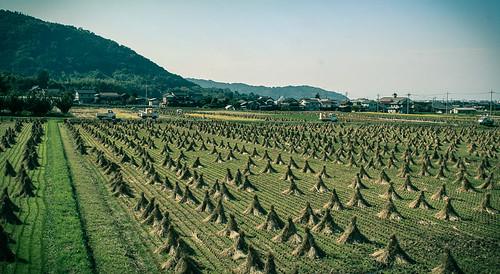 autumn japan landscape october asia rice farming harvest 4th fields ricepaddies ricefields 2009 tottori arable