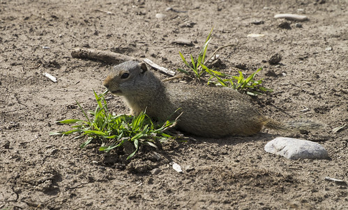 Uinta Ground Squirrel at Mormon Row 400 (75)