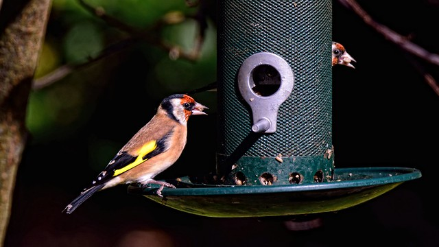 Goldfinch in my Garden