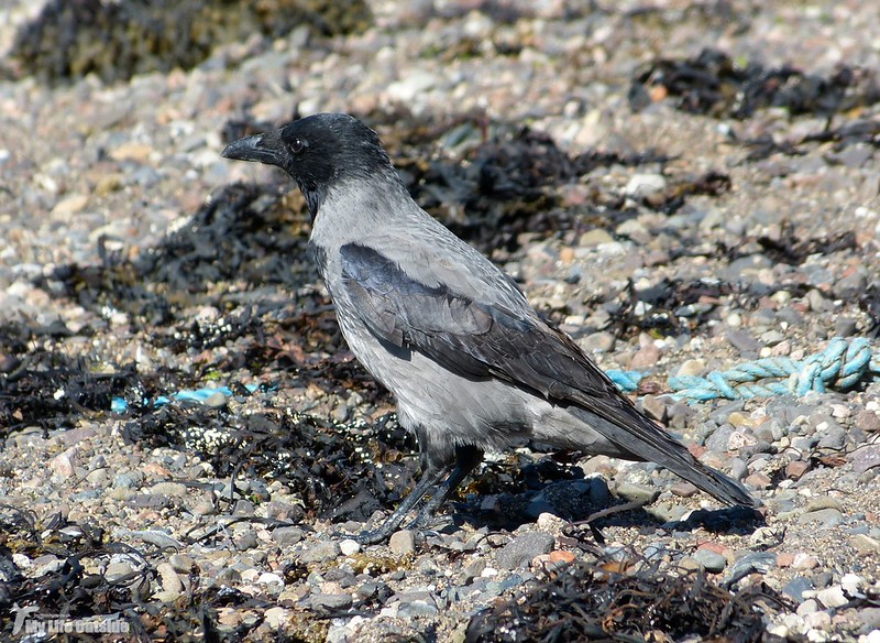 P1090015 - Hooded Crow, Oban