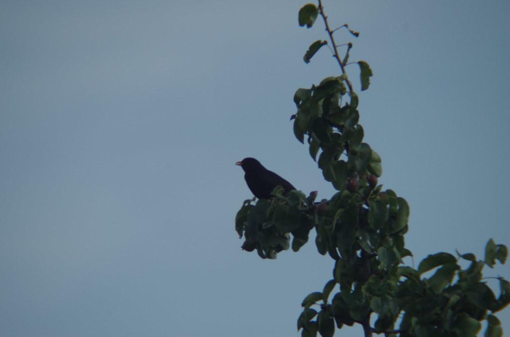 Amsel auf Birnbaum