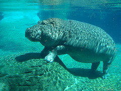 animal, marine mammal, sea, sirenia, marine biology, fauna,