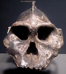 Paranthropus aethiopicus (fossil hominid) (Nachukui Formation, Upper Pliocene, 2.5 Ma; Lomekwi, Lake Turkana area, Kenya) 2