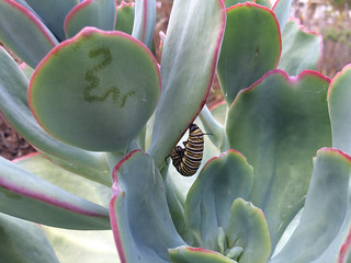 Monarch caterpillar forming its chrysalis on Echeveria gigantea.