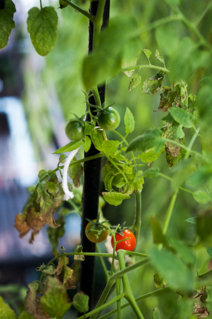 Cherry Tomato from garden