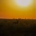 uttampegu posted a photo:Blackbuck against setting Sun at Tal Chhapar, Rajasthan India