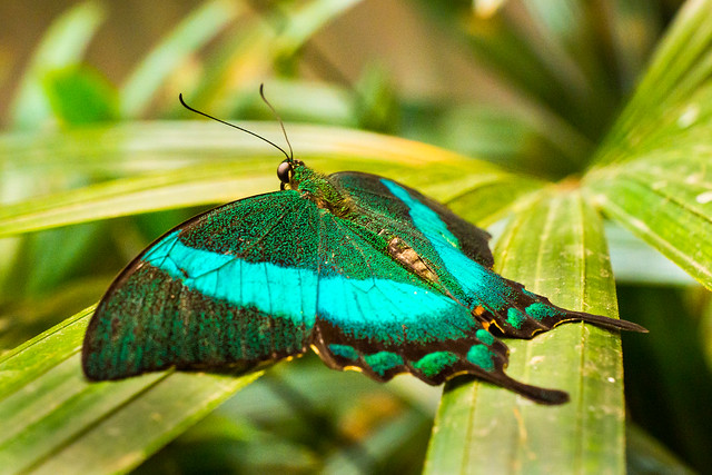 Butterfly, Green-banded Swallowtail, Green Banded Peacock, Emerald Swallowtail, Butterflies