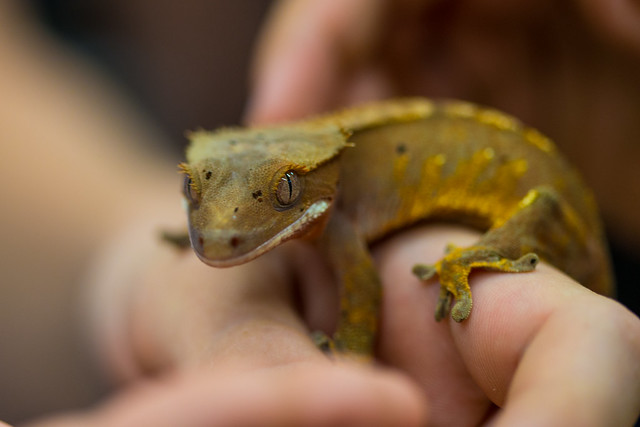 yellow crested gecko