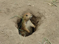 Peekaboo prairie dog