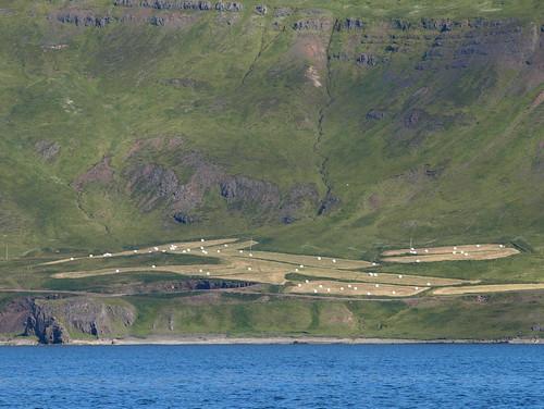 sea green field landscape iceland august hay agriculture norðurfjörður 2014 strandir árneshreppur