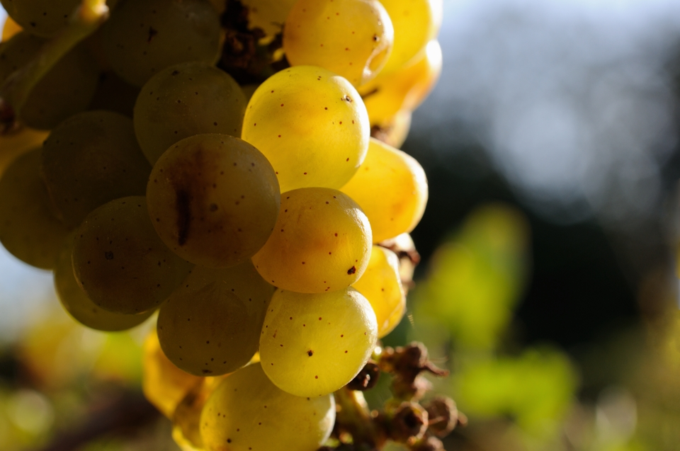 Grape_4