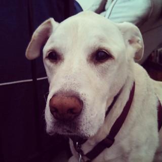 Zeus says Good Morning IG... He really hates this whole sitting-after-eating thing... #megaesophagus #dogstagram #instadog #seniordog #ilovemyseniordog #ilovebigmutts #mybaby