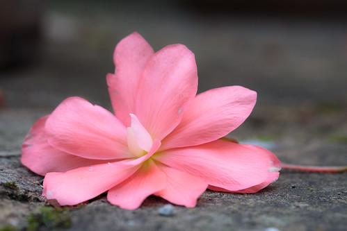 Fallen Begonia (011 / 365)