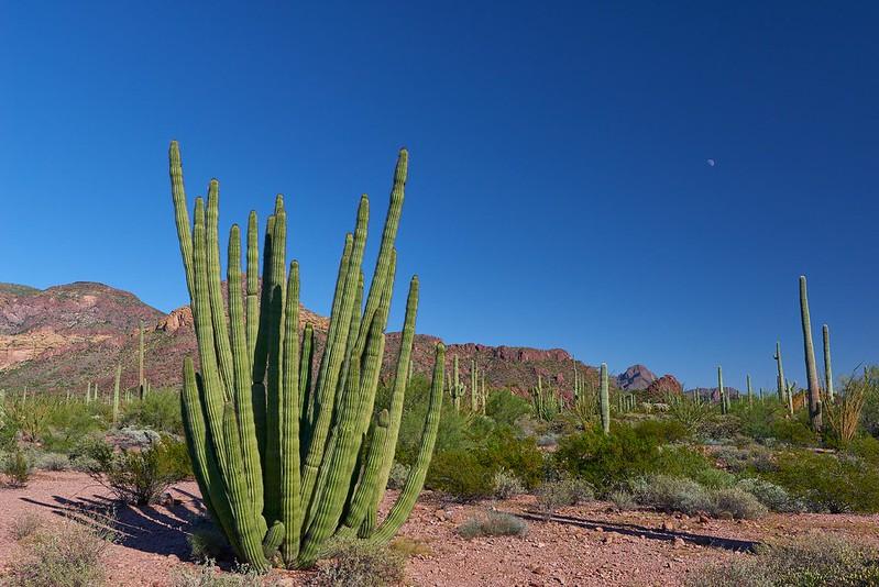 Organ Pipe Cactus - Organ Pipe Cactus National Monument
