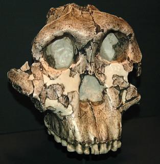 Paranthropus boisei fossil hominid (Koobi Fora Formation, Lower Pleistocene, 1.75 Ma; Olduvai Gorge, western Arusha Region, northern Tanzania, eastern Africa) 3