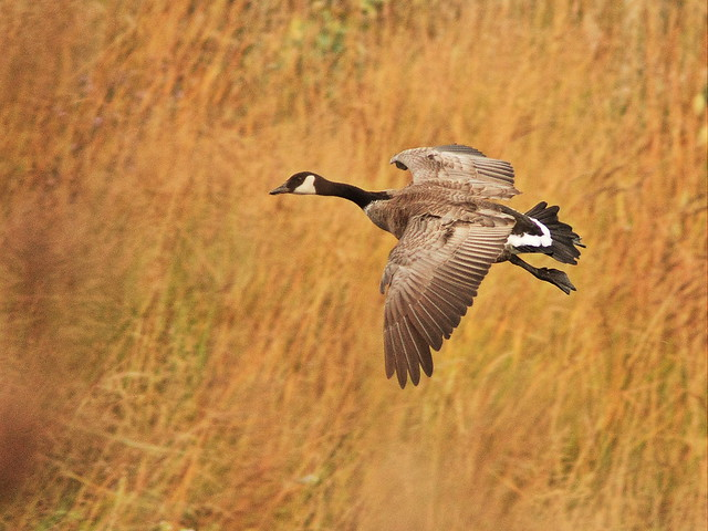 Canada Goose in flight 20141007