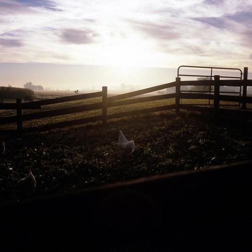 chickens 6x6 tlr silhouette sunrise mediumformat square haze farm fences provia barnyard provia100f rolleicord fujiprovia100f rolleicordv