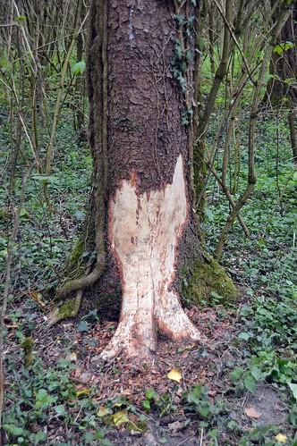 Wenn Biber die zu fällenden Bäume Anzeigen