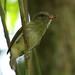 Small photo of BRIGHT-RUMPED ATILLA Chaguaramus Trinidad