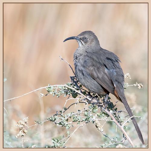 american america canon nature lasvegas wildlife wild western southwest sun desert clarkcounty clark vegas bird henderson nevada nevadadesert preserve