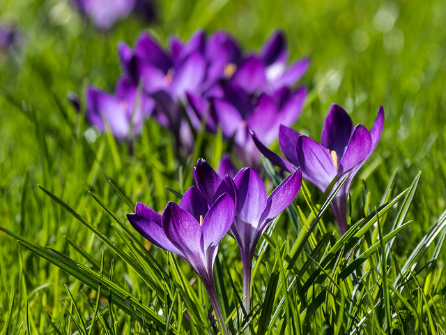 9000 Purple Crocus