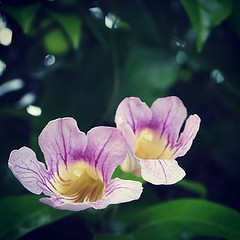 Clytostoma callistegioides Looking back over my photos, this plant blooms regularly every year around this time. #plants #flowers #garden #nature #outdoors #ig_garden #flowersofinstagram #flowerstagram #treestagram #rainbow_petals #plantstagram #ig_nature