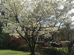 White dogwood in bloom, Albemarle Street NW, Washington, D.C.